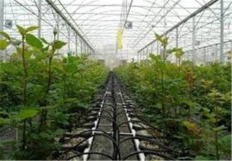 سالانه بیش از ۸ هزار تن محصول گلخانهای در خراسان جنوبی تولید میشود