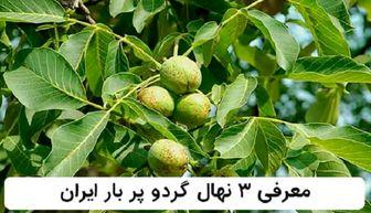 معرفی 3 رقم از نهال های گردو پر بار ایران: