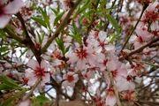 شکوفههای بهاری در زمستان/ گزارش تصویری