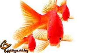 آنچه از ماهی قرمز نمی دانید!