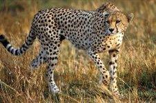 راز سریع دویدن یوزپلنگ فاش شد
