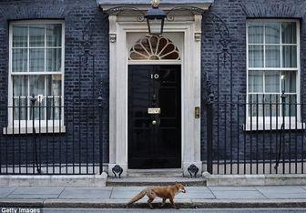 حضور روباه پیر در دفتر نخست وزیر انگلیس/ عکس