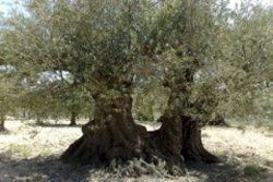 درختان یک هزار و ۵۰۰ ساله در سوریه + عکس