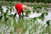 فصل نشاء کاری برنج/ عکس