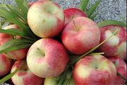 سیب آذربایجان غربی به پاکستان و هندوستان صادر میشود