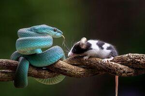 لحظه شکار شدن موش به دست افعی آبی/تصاویر
