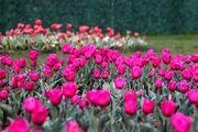 جشنواره گلهای لاله در اراک/ گزارش تصویری