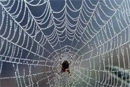 بزرگترین الیاف جهان از تار عنکبوت ساخته شد