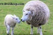 مزیت خرید گوسفند زنده به صورت اینترنتی