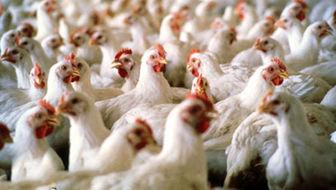 زیان یک هزار و ۵۰۰ تومانی مرغداران در فروش