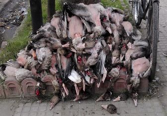 خطر انقراض پرندگان مهاجر به علت شکار بیرویه و غیرقانونی