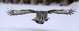 کشف راز پرواز ساکت جغدها