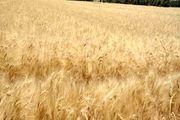 تروریستها گندم کشاورزان سوریه را سرقت و به ترکیه منتقل میکنند