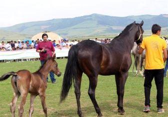 صادرات اسب ایرانی مجوز گرفت