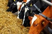 افزایش شدید قیمت خوراک دام