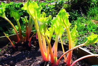 درمان بیماریهای مزمن کبدی با یک گیاه شگفتانگیز ایرانی