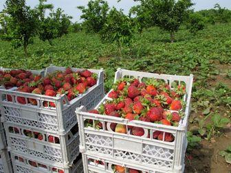 گزارش افکارنیوز از دلالی پر سود در بازار توت فرنگی