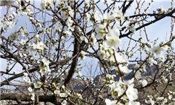 ضرورت مدیریت باغی در تثبیت گلدهی
