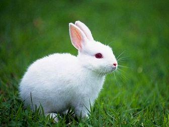 Rabbit - Taken Antibodies to Improve Leukemia