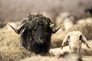 گوسفندان رومانیایی به تهران رسیدند/ گزارش تصویری