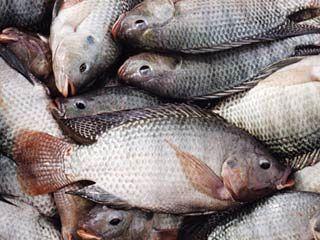 واردات تیلا پیا بازار قزل آلا را قبضه کرد
