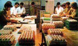 قیمت تخممرغ دانهای تعیین شد