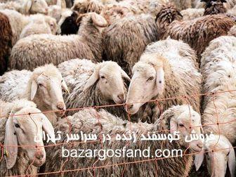خرید گوسفند زنده با قیمت استثنایی در تهران