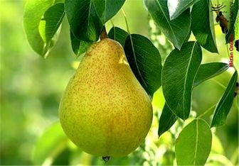 گلابی در بازار میوه شاهی میکند