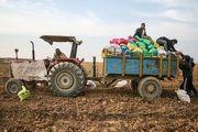 قیمت سیب زمینی کاهش می یابد