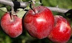 کاهش 500 هزار تنی تولید سیب نسبت به پارسال