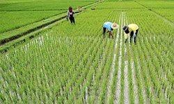 لغو فوری بخشنامه واردات برنج با هدف حمایت از برنج کاران