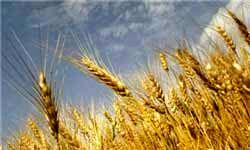 واردات گندم از آمریکا به کشور دو برابر شد