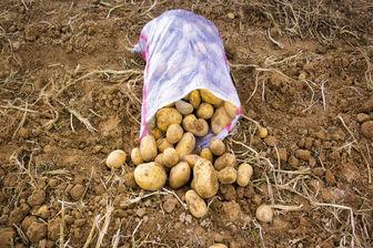 ممنوعیت صادرات سیبزمینی به عراق برداشته شد