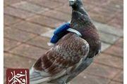 کبوتران زیبا در آتلیه!/ عکس