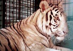 حضور حیوانات عظیمالجثه در خیابانهای شمال تهران در ساعات پایانی شب!