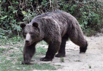 حمله خرس به دو کوهنورد در ایلام