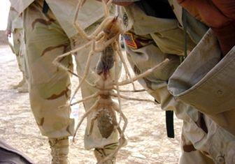 حمله عنکبوتها به نظامیان آمریکایی + عکس