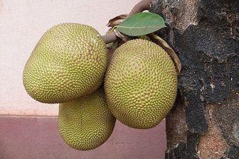 میوه عجیبی که به قحطی پایان میدهد + عکس