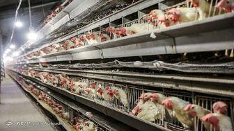 ۴۰ تن مرغ در میادین میوه و ترهبار پخش شد/ هر کیلو مرغ منجمد ۱۳ هزار تومان
