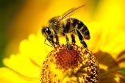 کشف بزرگترین زنبور جهان/ فیلم