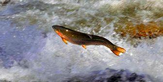 تولید سالانه بیش از ۵۰۰ تن ماهی در این شهرستان