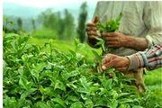 مزرعه زیبای چای در ژاپن/ عکس