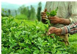 افزایش 13 درصدی برداشت برگ سبز چای