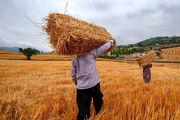 ارز ترجیحی حذف شود قیمت گندم باید افزایش یابد