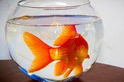سود ماهی قرمز در جیب دلالان