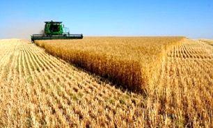 گندم گران میشود؟