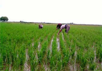 ممنوعیت کشت دوباره برنج در برخی از زمین های مازندران/ در گلستان حتی کشت اول ممنوع
