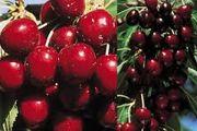 قیمت میوه های نوبرانه در میادین میوه و تره بار