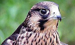 جاسوسی با استفاده از پرندگان