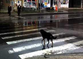 سگهای ولگردی که ترافیک درس میدهند!